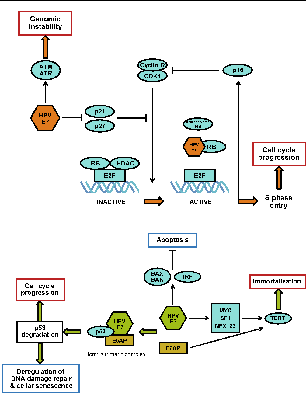 human papillomavirus carcinogenesis endometrial cancer is