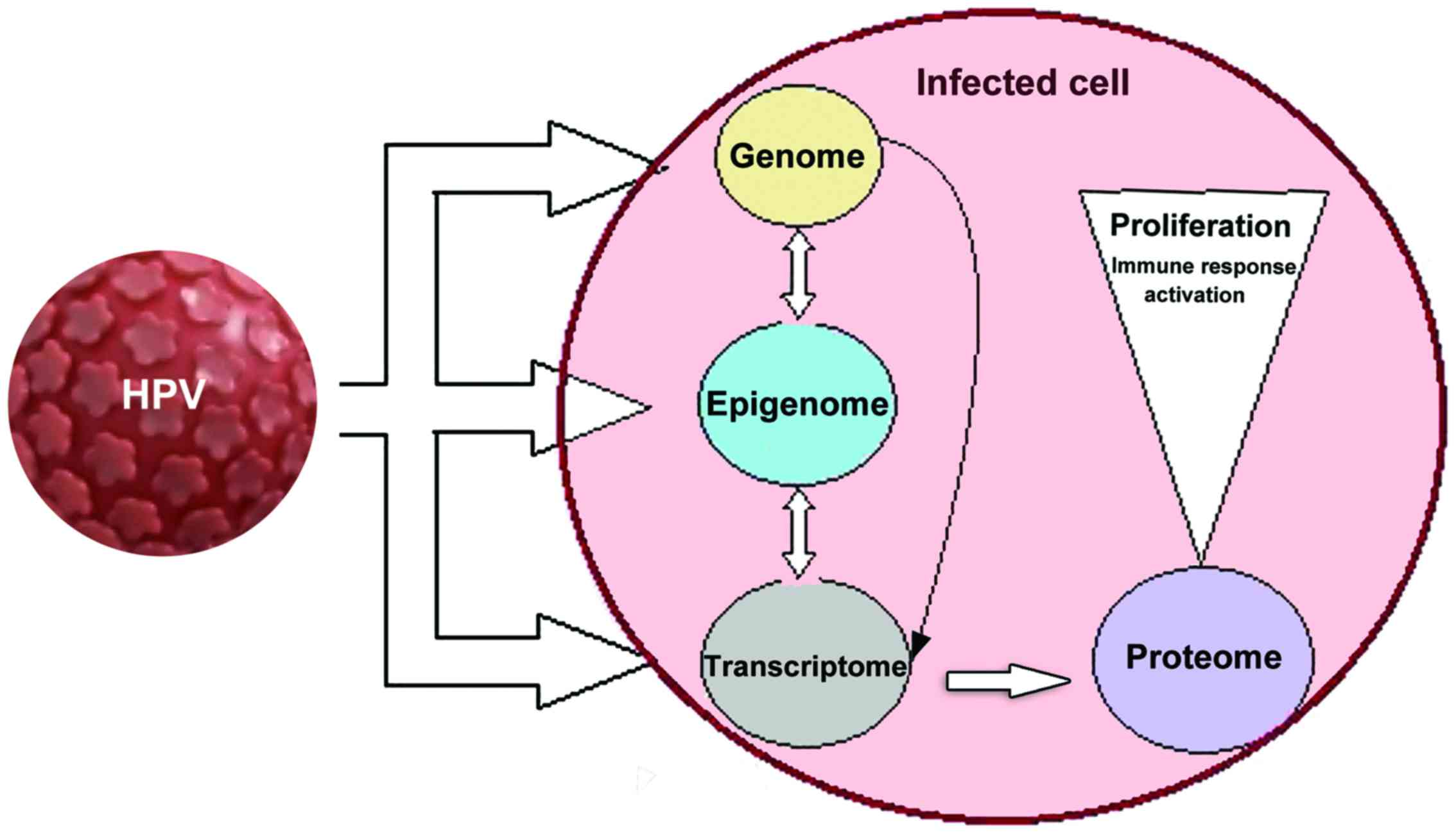 human papillomavirus especially strains 16 and 18)
