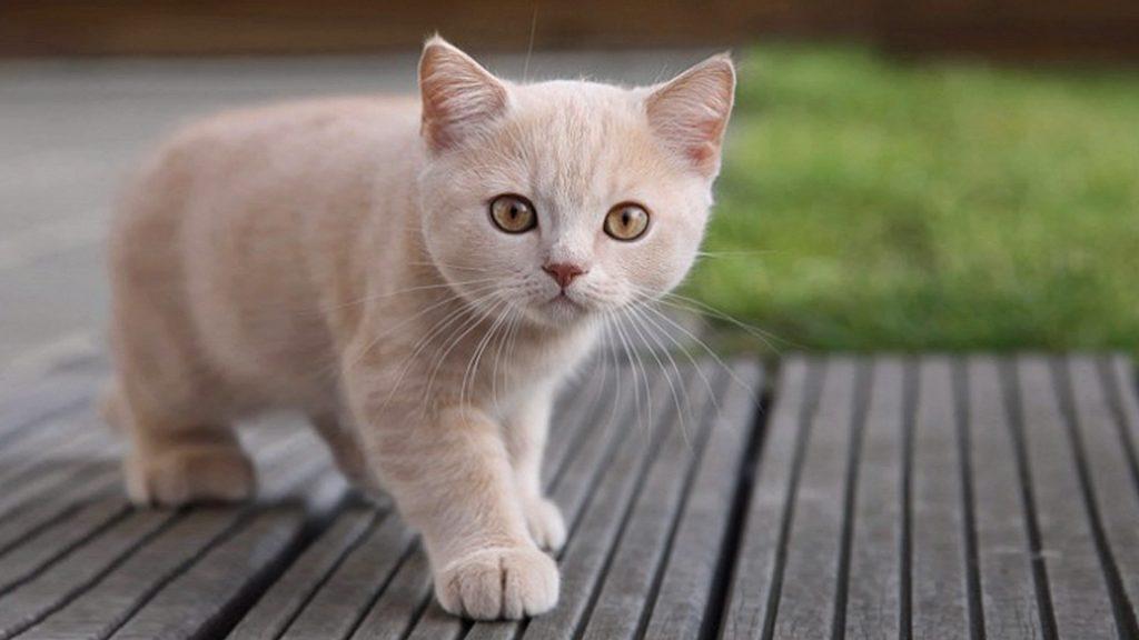 oxiuros en gatos