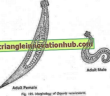 oxyuris vermicularis que es