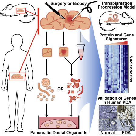 pancreatic cancer xenograft mouse model