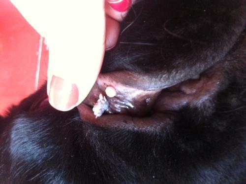 papilloma nel cane cura