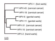 papillomavirus infection types)