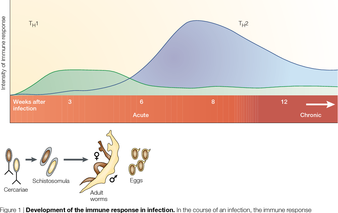 the immunobiology of schistosomiasis)